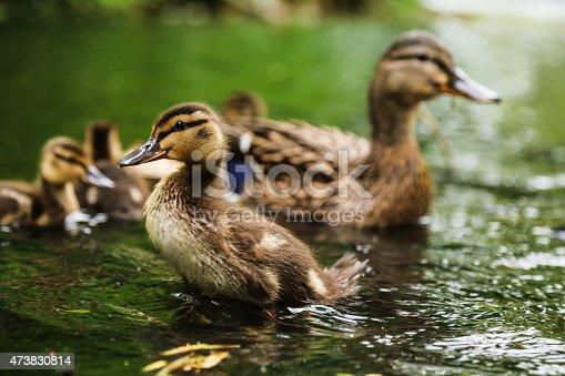 istock Mallard duckling 473830814