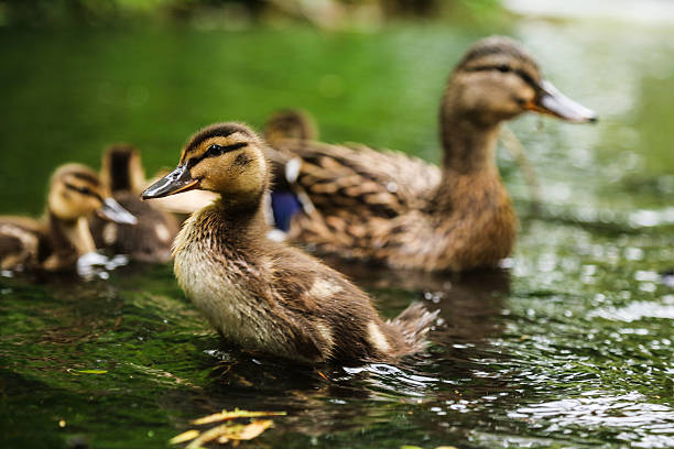 Mallard duckling Cute Mallard duckling, swimming in the water during sunny weather. lake waterfowl stock pictures, royalty-free photos & images