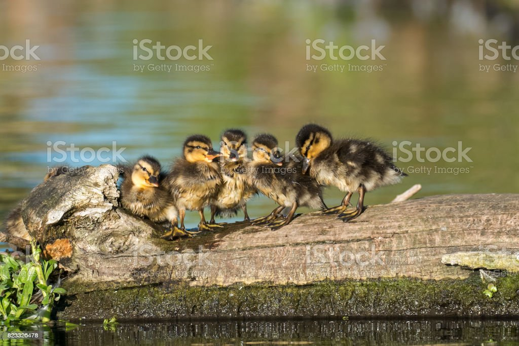 Mallard ducklings (Anas platyrhynchos) family lined up on a log in golden light royalty-free stock photo