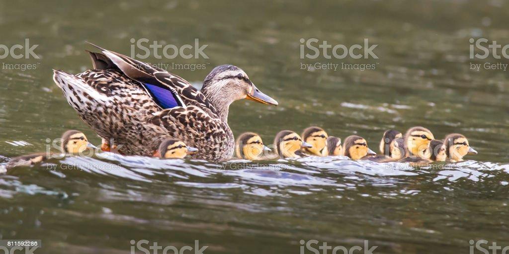 Mallard Ducklings stock photo