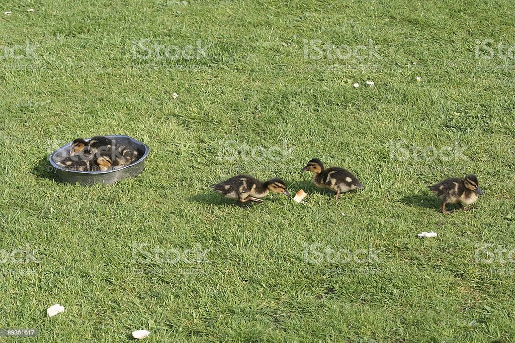 Mallard Ducklings foto stock royalty-free