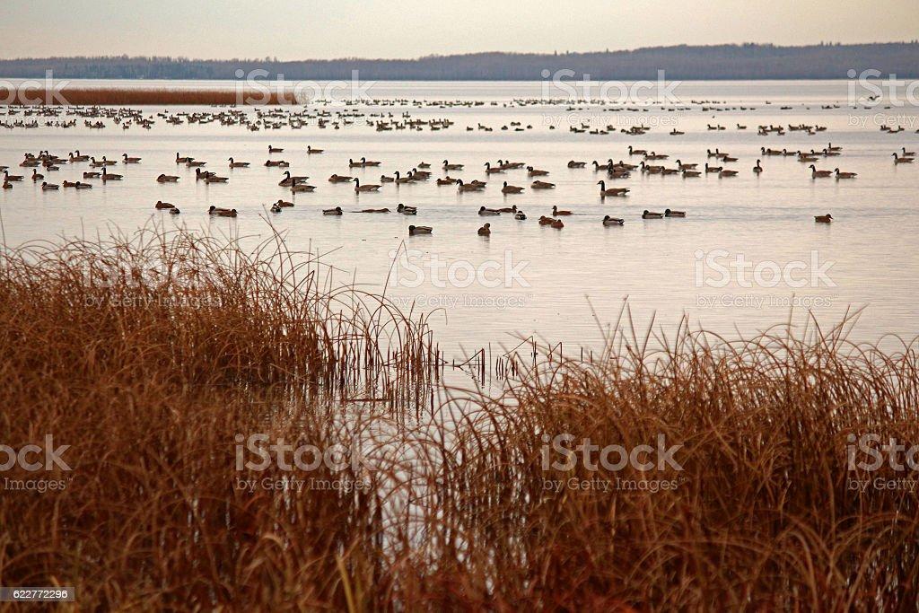 Mallard Ducks and Canada Geese stock photo