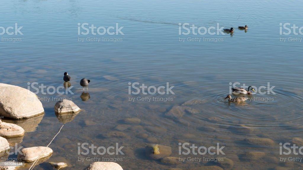 Mallard Ducks and Scaups on Virginia Lake in Reno Nevada stock photo