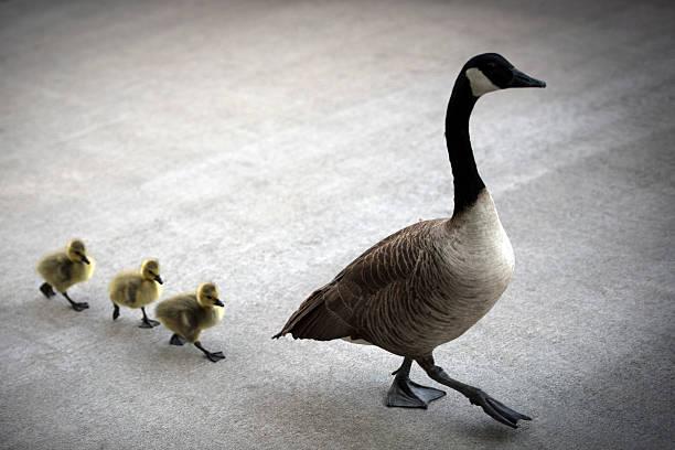 Mallard ducks crossing on footpath stock photo
