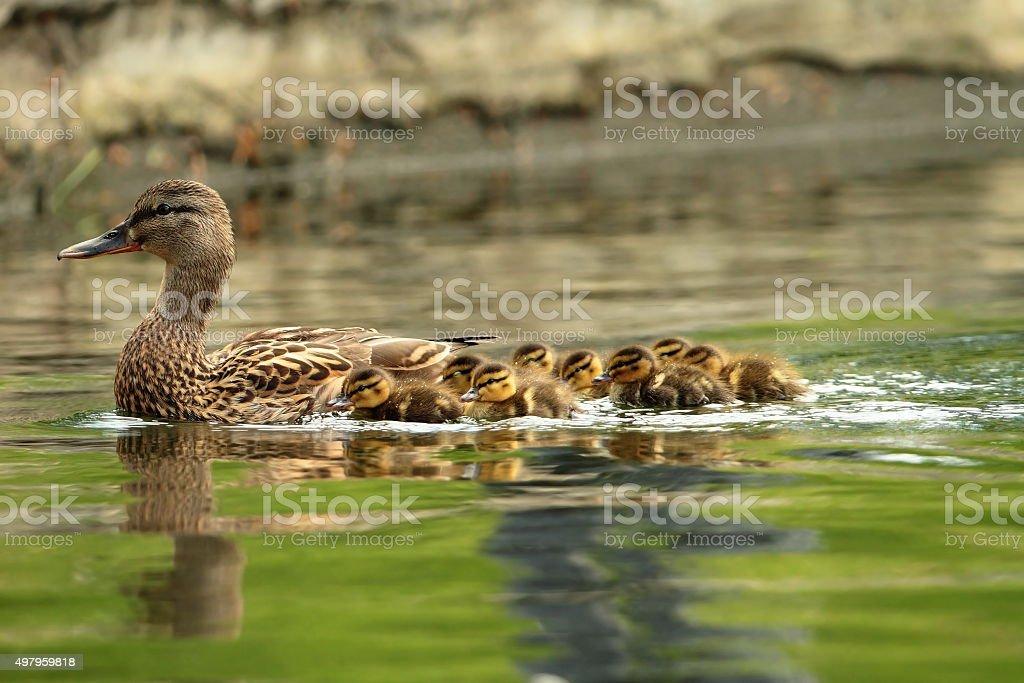 mallard ducks family stock photo