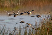 Mallard ducks taking off from pond.