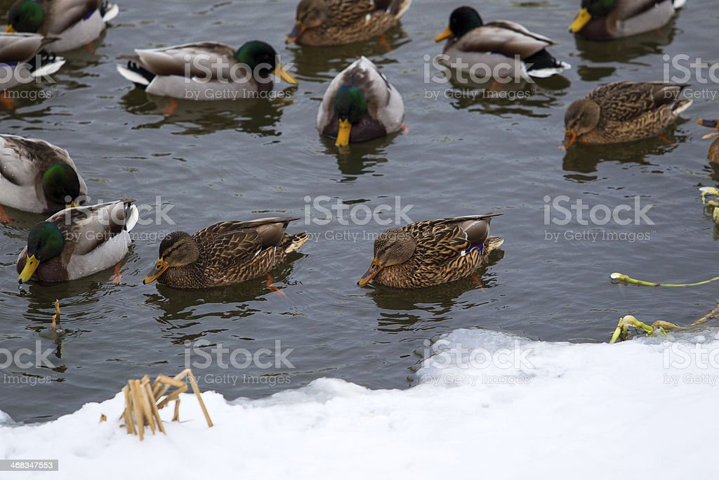 Mallard ducks on the pond in winter royalty-free stock photo