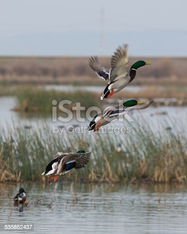 Drake Mallard Ducks taking flight