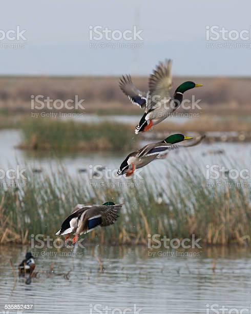 Photo of Mallard Ducks