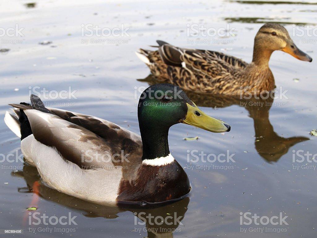 Mallard anatre foto stock royalty-free