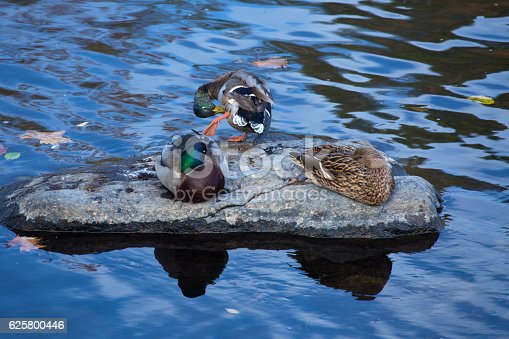 Three male and female mallard ducks, Anas platyrhynchos, rest and preen on a rock in the Farmington River, Connecticut.