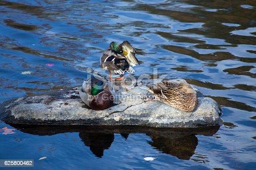 Three male and female mallard ducks, Anas platyrhynchos, rest and preen on a rock in the Farmington River, Connecticut.