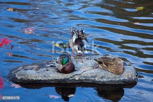 Male and female mallard ducks, Anas platyrhynchos, rest and stretch on a rock in the Farmington River, Connecticut.