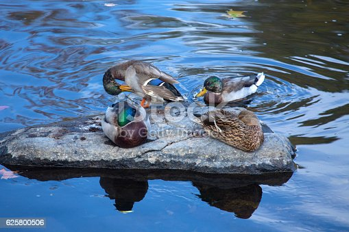Four male and female mallard ducks, Anas platyrhynchos, rest and preen on a rock in the Farmington River, Connecticut.
