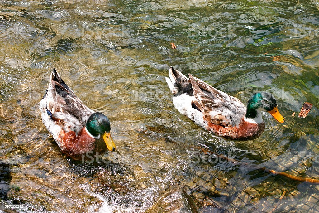 mallard ducks swim in the river royalty-free stock photo