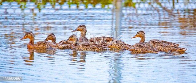 istock Mallard ducks swimming, reflected in calm waters at dawn. 1255622582