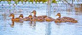 Mallard ducks swimming, reflected in calm waters at dawn.