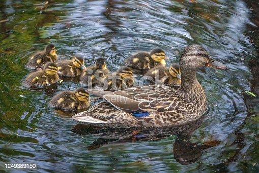 Une maman canard colvert fait une petite sortie en famille.