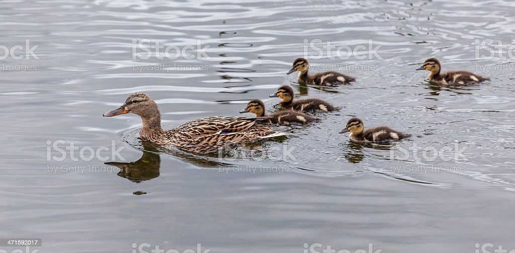 Mallard Female and Ducklings royalty-free stock photo