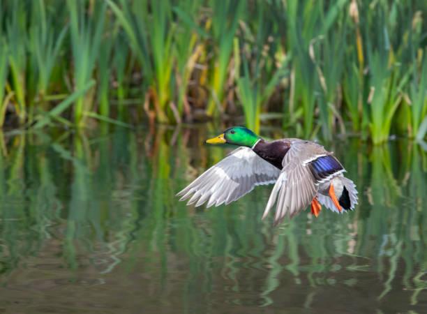 Mallard Flying – Foto