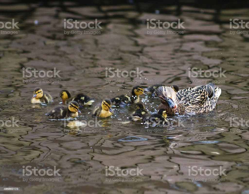 Mallard Hen and Ducklings royalty-free stock photo