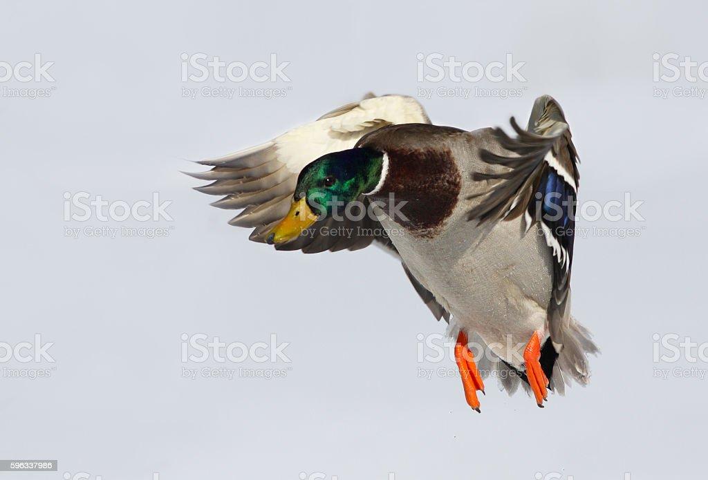 Mallard in flight royalty-free stock photo