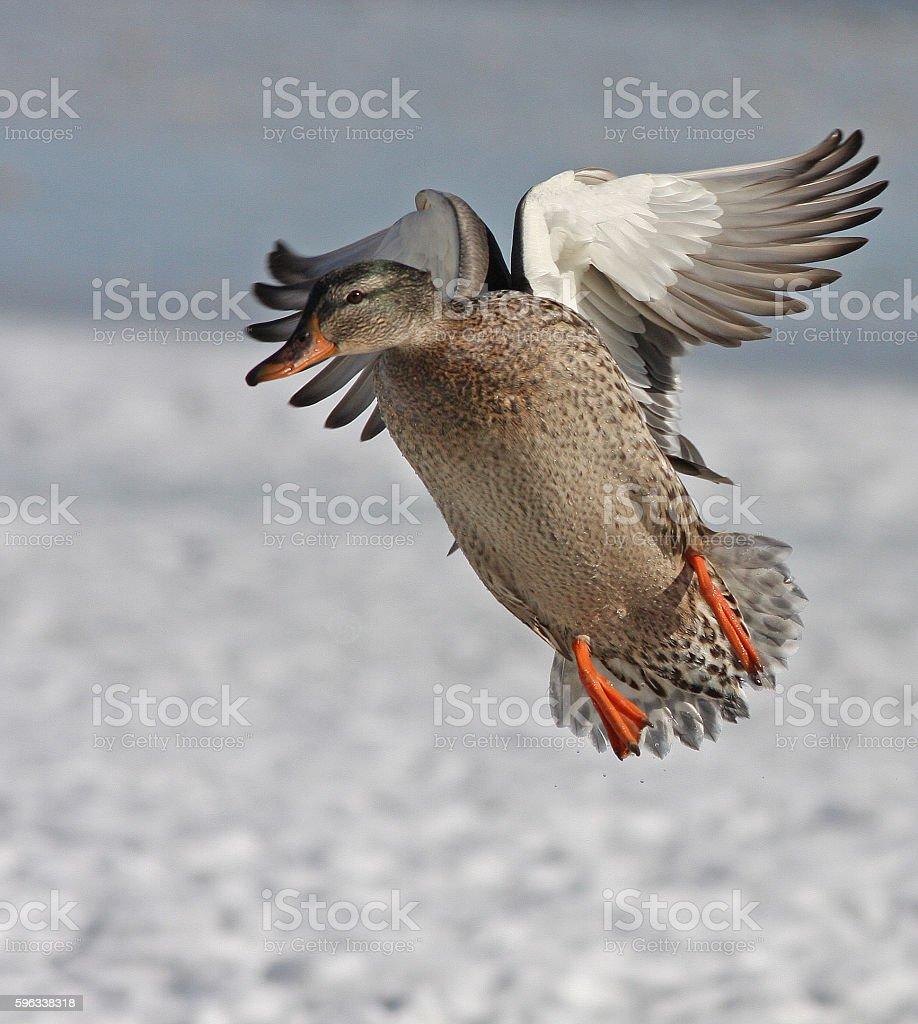 Mallard im Flug Lizenzfreies stock-foto