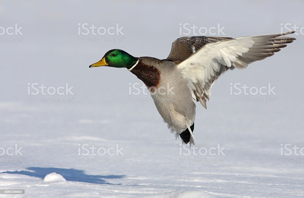 Mallard in flight royalty-free stock photo