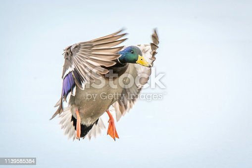 Mallard flying to landing spot.