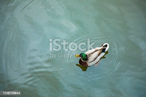 Mallard or Anas platyrhynchos, male bird in pond in Czech Republic