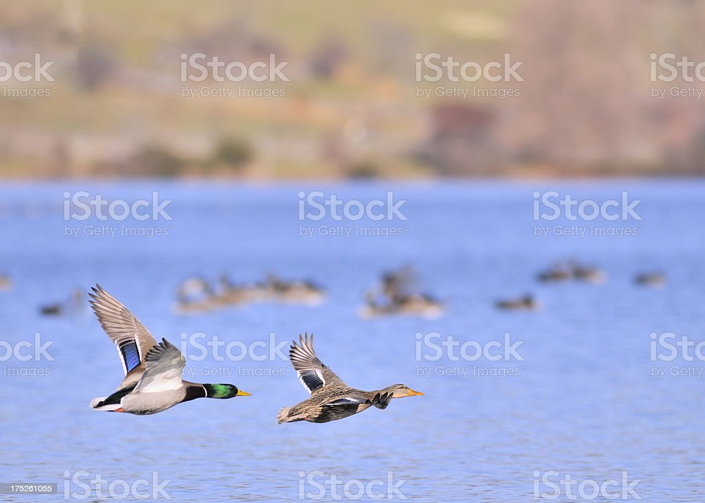 A pair of Mallards, Anas platyrhynchos, at the Piney Run Reservoir on...