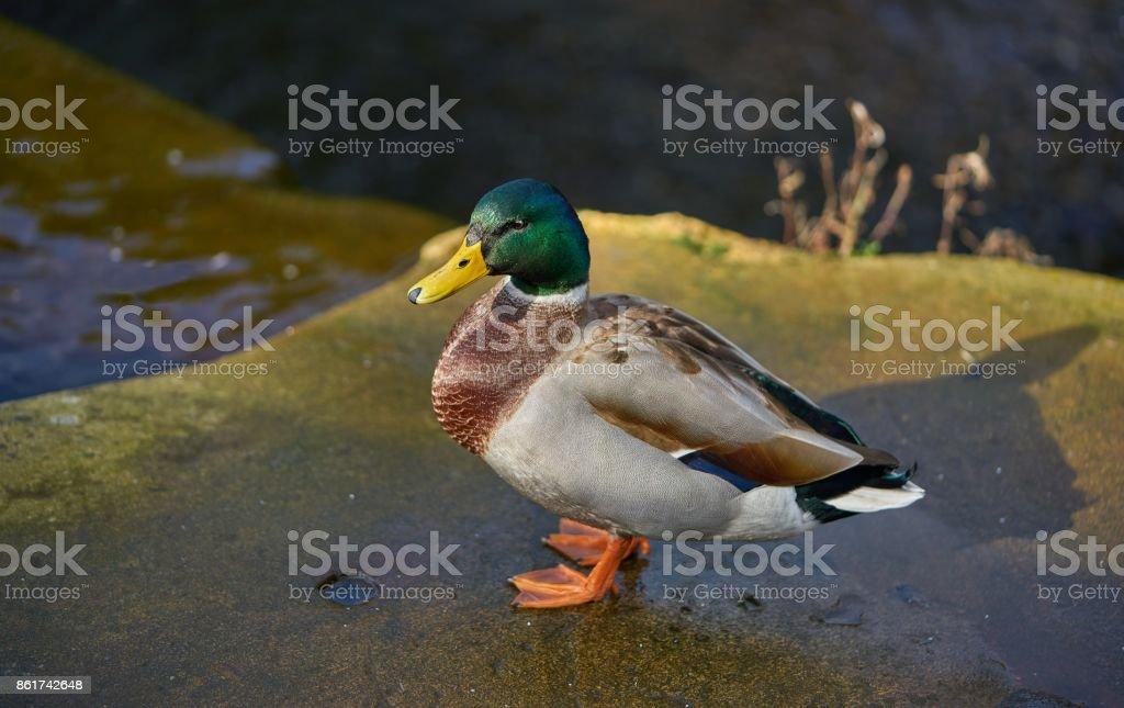 Mallard (Drake) stock photo