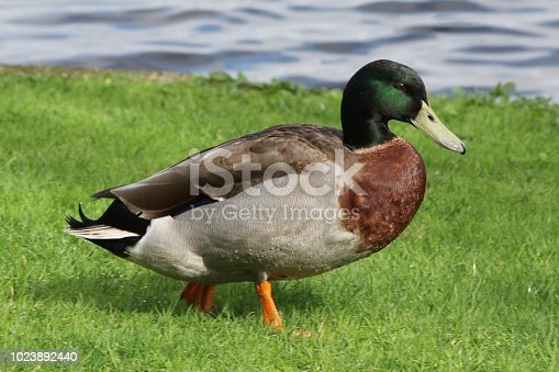 Perfect specimen of a mallard duck walking on grass in profile by the edge of a lake