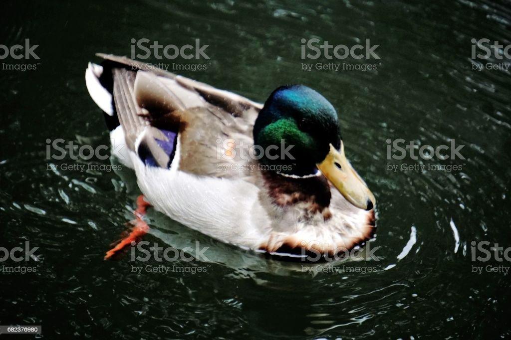 Mallard swimming in lake royalty-free stock photo