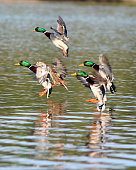 a group of mallard ducks landing on the lake