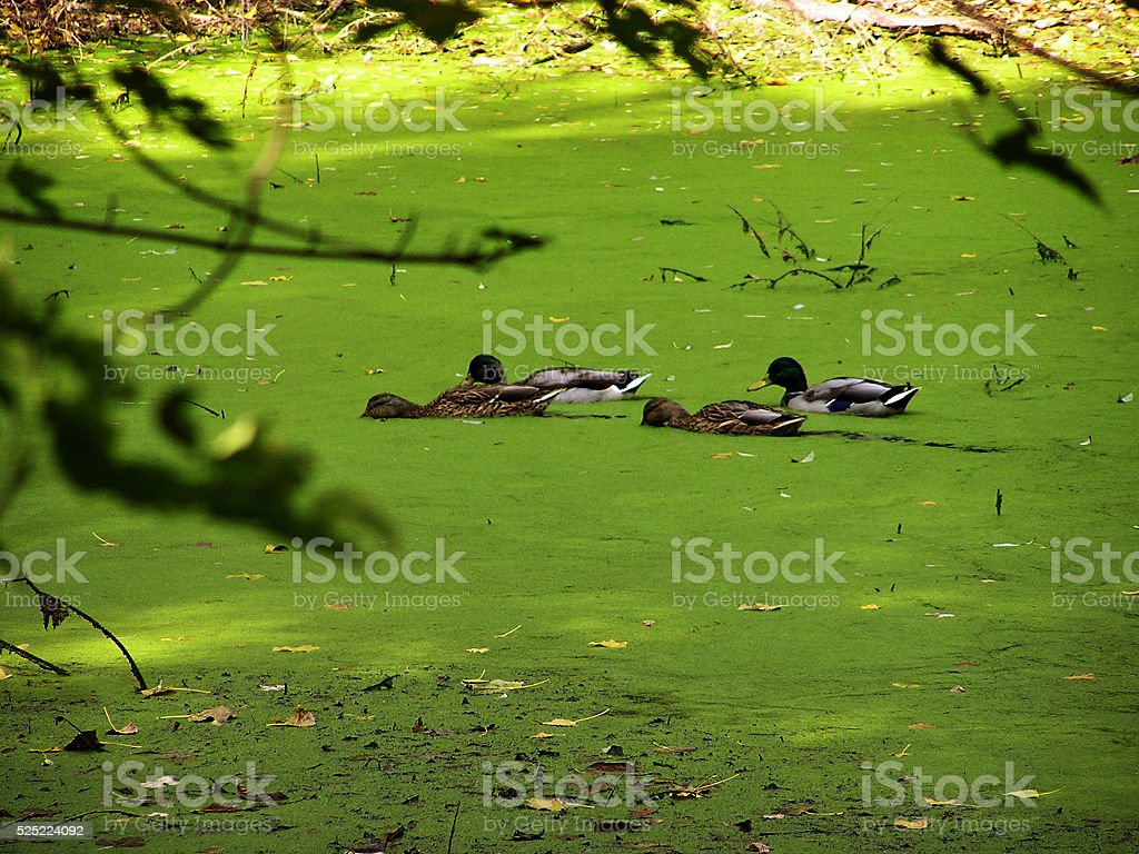 Mallards on a Whirleygig Pond stock photo