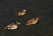 Three mallards on river. Male, female and mandarine.