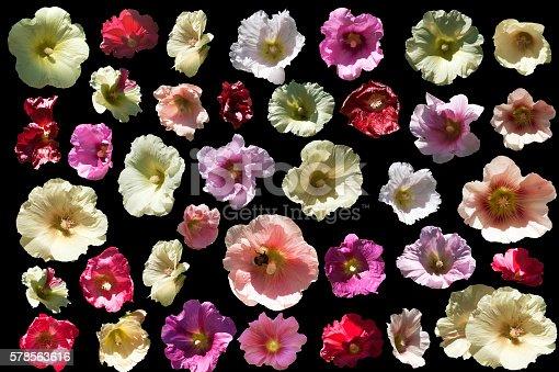 Mallow blossoms - Alcea L.