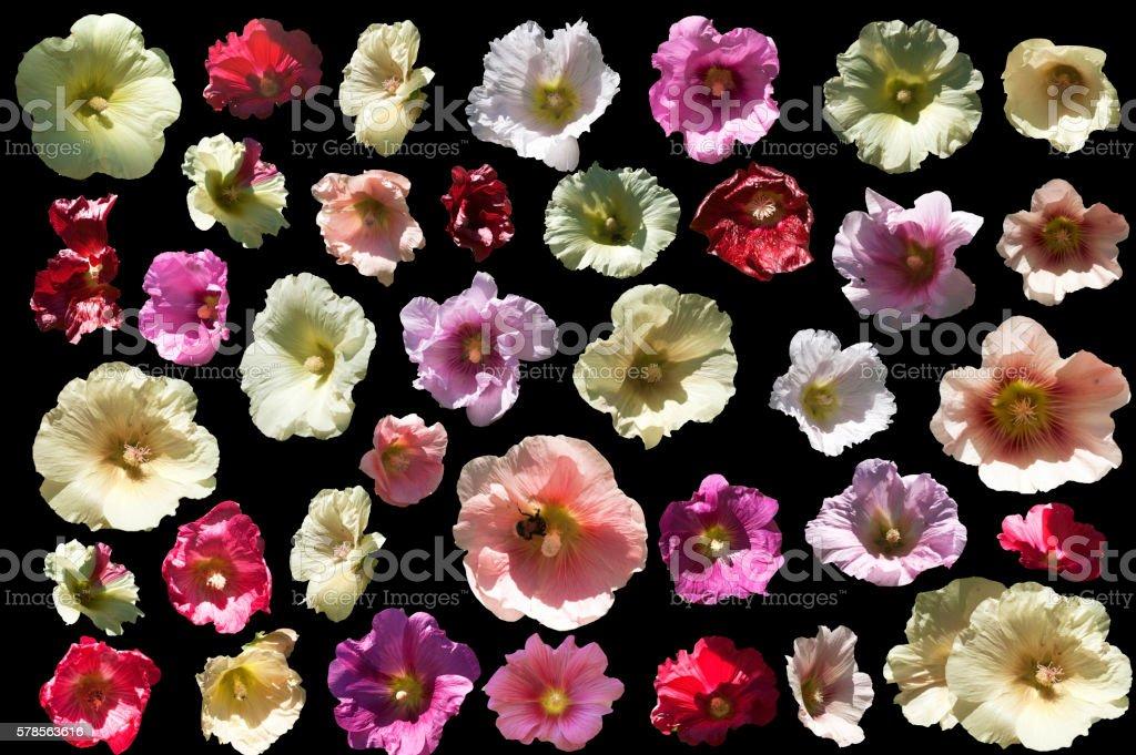 Mallow blossoms - Alcea L. stock photo