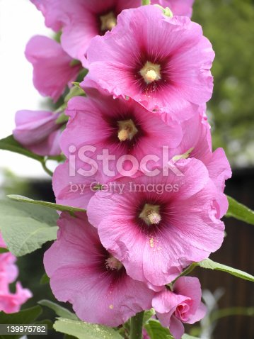 Pink mallow blossoms in the garden