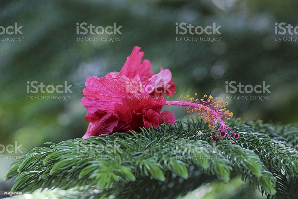 Mallow Flower on Christmas Tree royalty-free stock photo