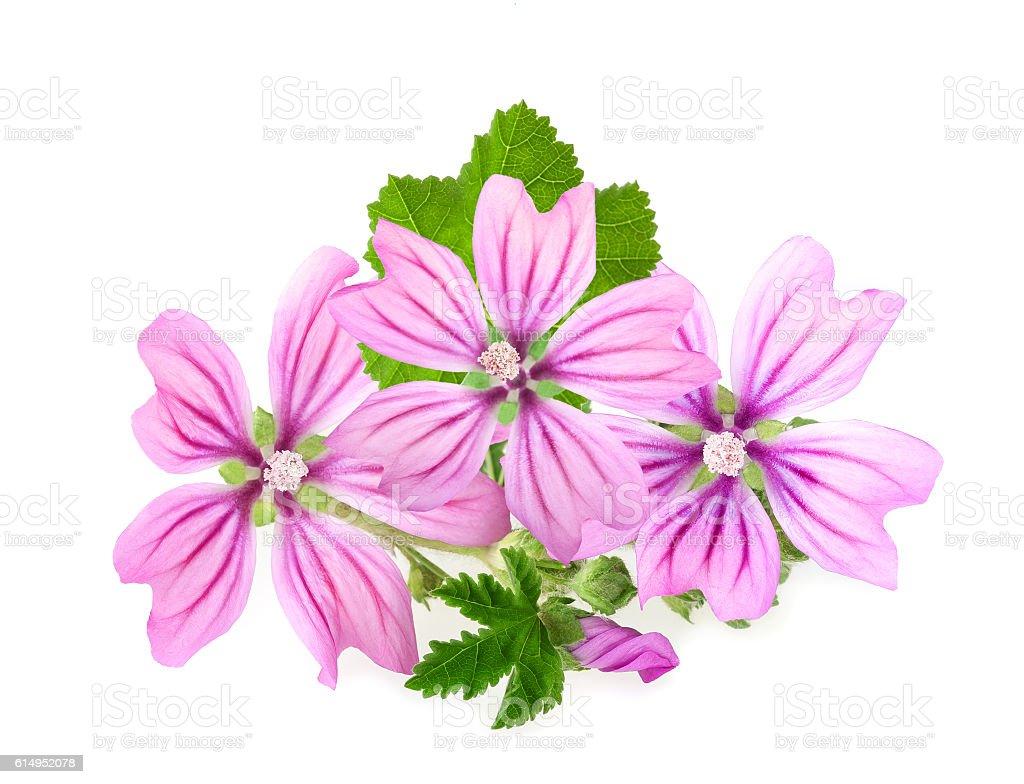 mallow flowers stock photo