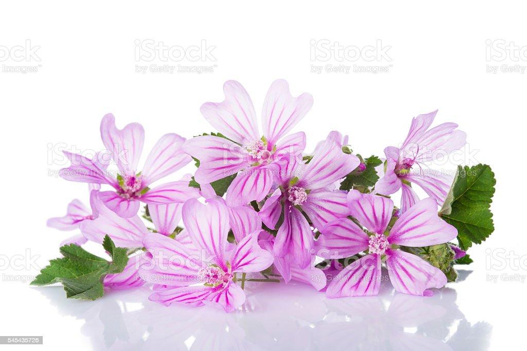 Mallow or malva flowers isolated on white stock photo