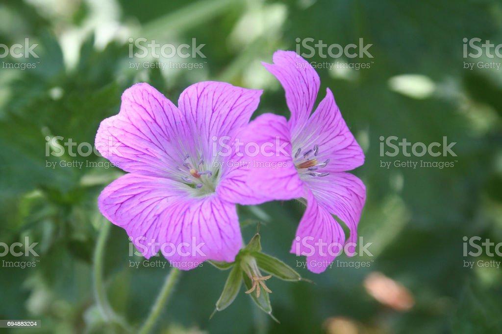 Mallow pink flowers stock photo