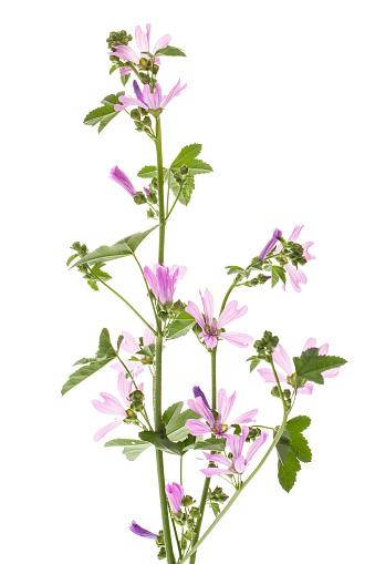 Mallow (Malva sylvestris) plant against white background