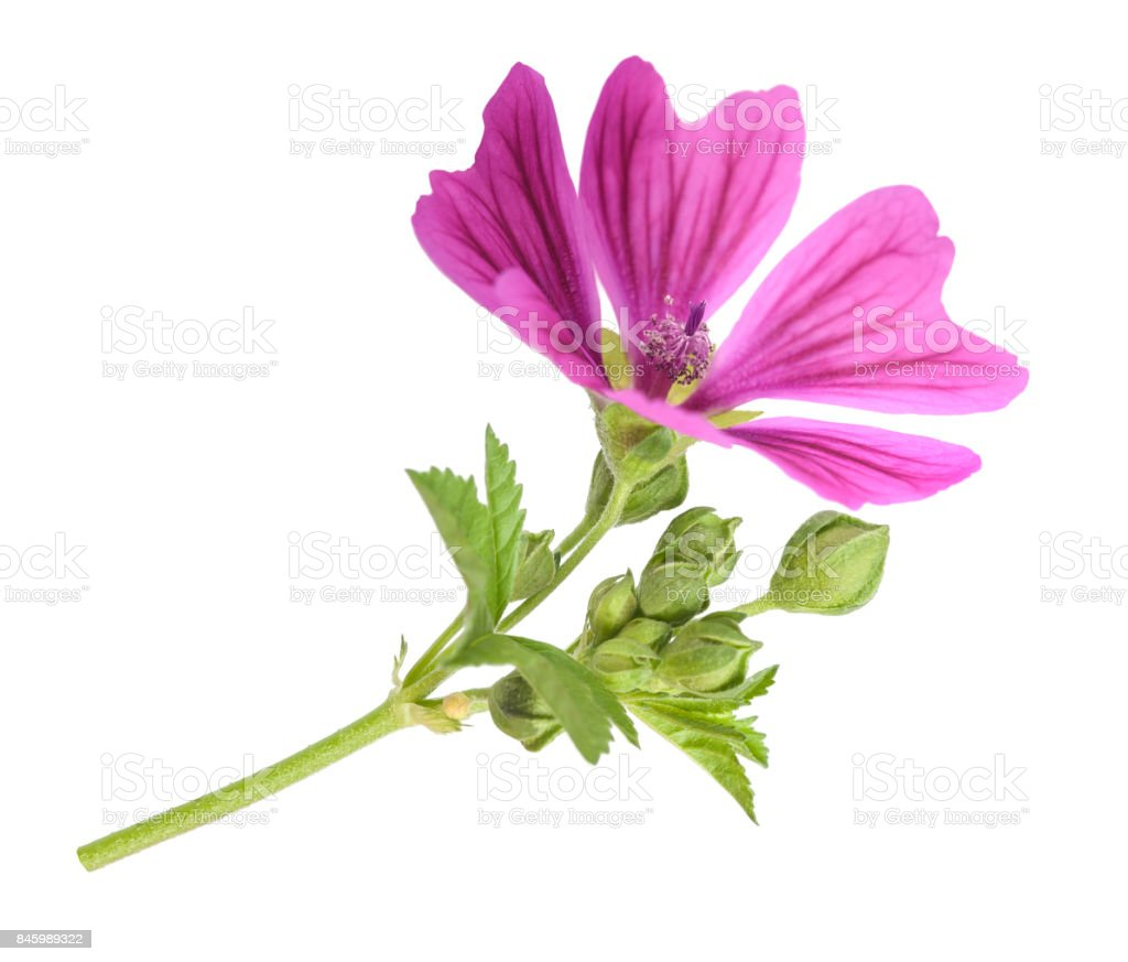 Mallow plant with flower stock photo