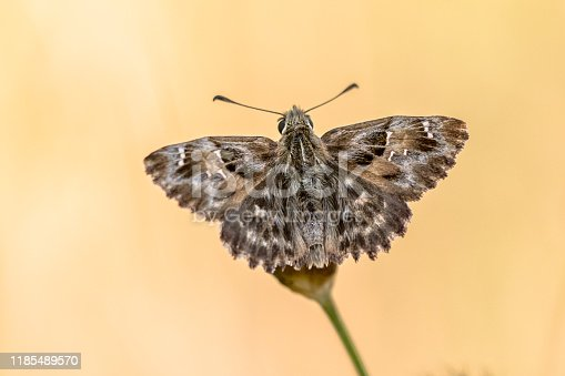 Mallow skipper (Carcharodus alceae) butterfly resting on flower against bright yellow natural background