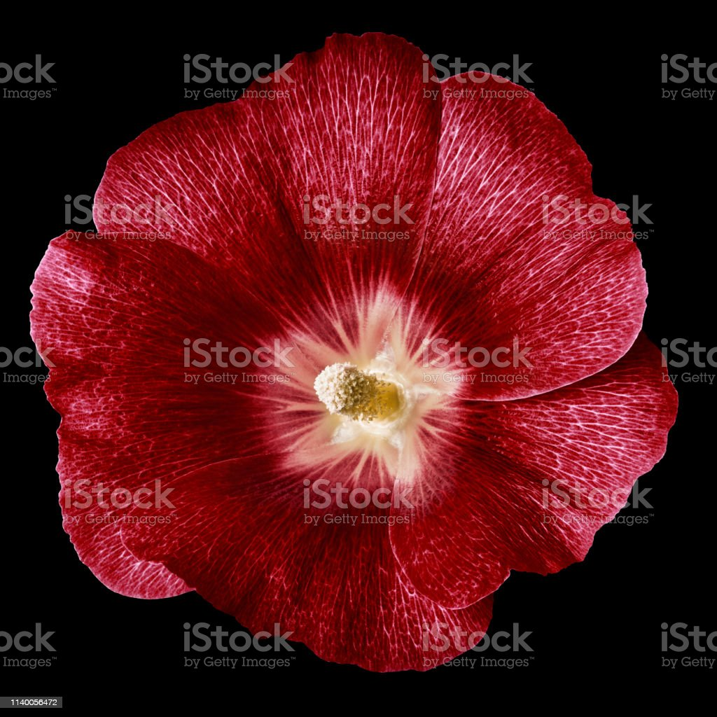 mallow terry red flower isolated black background. For design....
