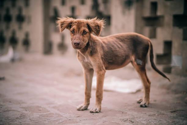 malnourished puppy - desperdício alimentar imagens e fotografias de stock