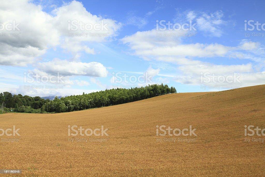 Malt field royalty-free stock photo